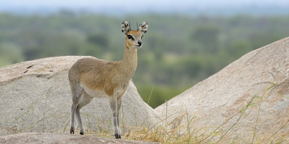 living-trampolines-fun-bouncing-klipspringer