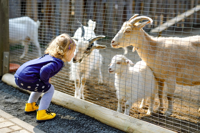Girl spending time with animals at petting farm